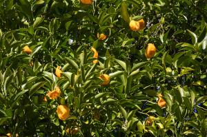 橘(タチバナ)