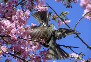 河津桜と鵯(ヒヨドリ)