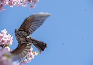 河津桜にヒヨドリ(鵯)