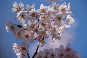 トウカイザクラ(東海桜)