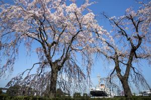 横浜・山下公園の枝垂れ桜