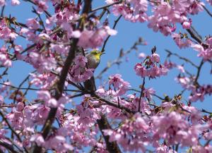 横浜緋桜(ヨコハマヒザクラ)