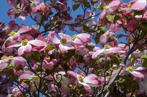 ハナミズキ(花水木)
