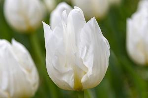 アグラス ホワイト(Agrass White)