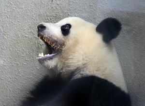 シャンシャン(香香 Xiang Xiang)