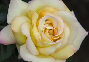 栄誉殿堂入りのバラ「ピース(PIECE)」