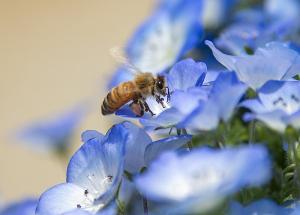 ネモフィラの花にミツバチが・・・