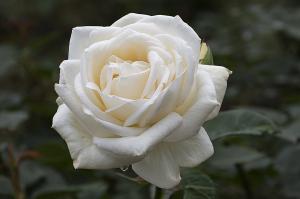 ホワイト・クリスマス(White Christmas) バラ