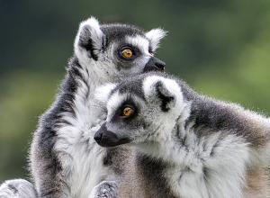 上野動物園のワオキツネザル(輪尾狐猿