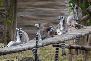 上野動物園のワオキツネザル(輪尾狐猿)