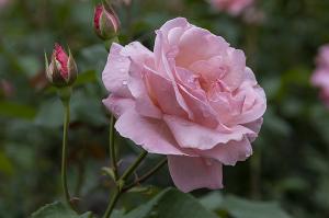 クイーン・エリザベス(Queen Elizabeth)バラ