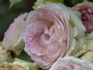 ピエール・ドゥ・ロンサール(Pierre de Ronsard) バラ