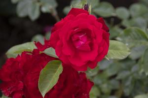 タマンゴ(Tamango) バラ