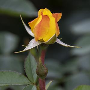 ゴールドマリー(Goldmarie) バラ