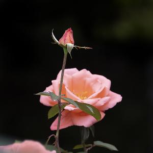 カトリーヌ・ドゥヌーブ(Catherine Deneuve) バラ
