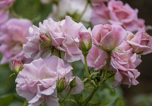 ピンク・フレンチ・レース(Pink French Lace) バラ