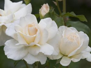 フレンチ・レース(French Lace) バラ