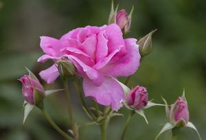 フロリック(Frolic) バラ