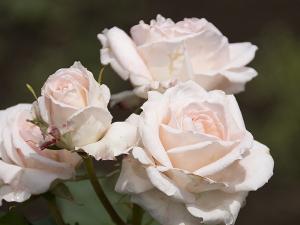 ブライダル・ピンク(Bridal Pink) バラ