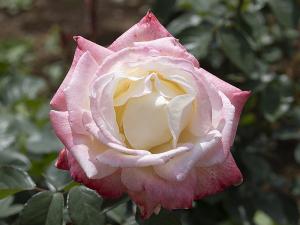 ホワイト・ベリー(White Berry) バラ