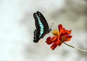 アオスジアゲハ(青条揚羽)