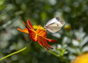 モンシロチョウ(紋白蝶)