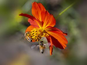 ミツバチ(蜜蜂)
