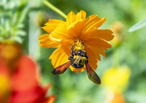 クマバチ(熊蜂)