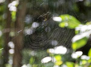 ジョロウグモ(女郎蜘蛛・上臈蜘蛛)