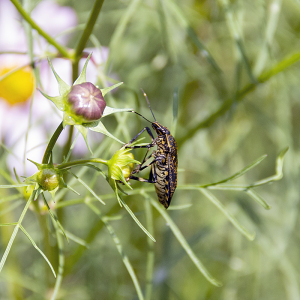 キマダラカメムシ(黄斑椿象・黄斑亀虫)