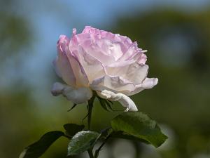 プリンセス ドゥ モナコ(Princesse de Monaco) バラ