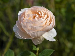 アンブリッジローズ( Ambridge Rose )
