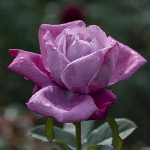 ブルー・パフューム(Blue Perfume) バラ