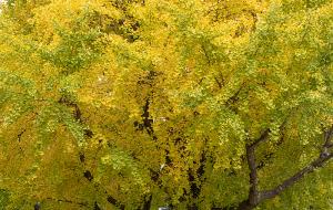 山下公園前のイチョウ並木