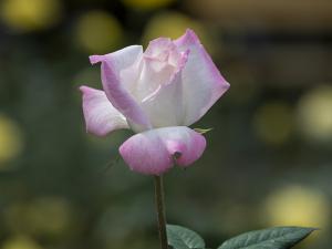 夕霧(Yugiri) バラ