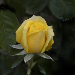 ファルツァー・ゴールド(Pfalzer Gold) バラ