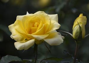 ゴールデン・メダイヨン(Golden Medaillon) バラ