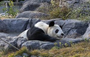 上野動物園のジャイアントパンダ「りーりー」