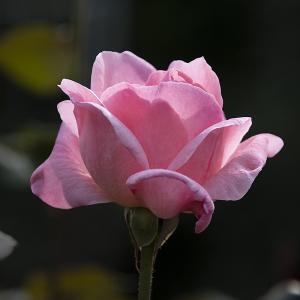 クイーン・エリザベス(Queen Elizabeth) バラ