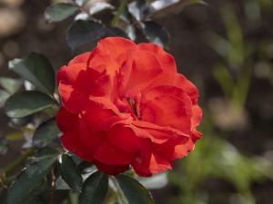 花房(Hanabusa) バラ