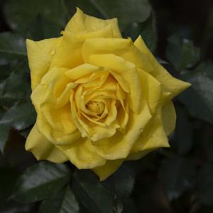 フリージア(Friesia) バラ