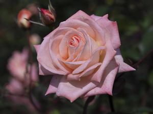 バイオレット・カーソン(Violet Carson) バラ