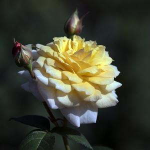ムーンスプライト(MoonSprite) バラ