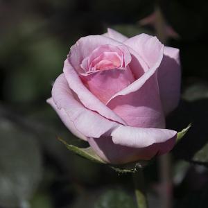 賛美(Sanbi) バラ
