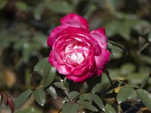 聖火(Seika) バラ