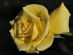 サン・フレーア(Sun Flare) バラ