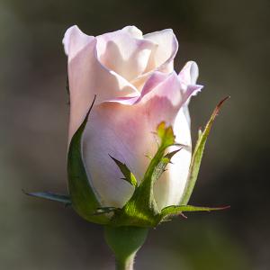サラトガ(Saratoga) バラ