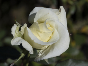 ジョン・F・ケネディ(John F. Kennedy) バラ