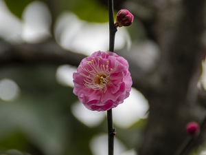 上野東照宮・ぼたん苑の梅の花