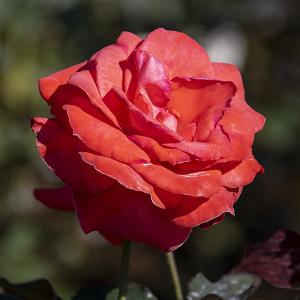 花籠(Hanakago) バラ
